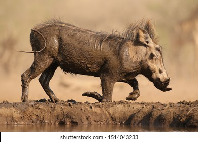Warthog covered in mud, trying to stand up