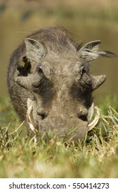 Warthog facing camera in the grass
