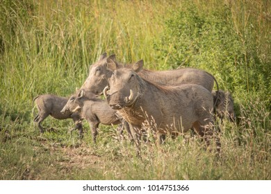 The Warthog Family