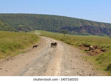 warthog family crossing path Hells Gate Kenya