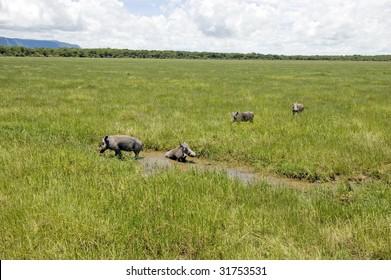 Warthog family in the Lake Manyara National Park - Best of Tanzania