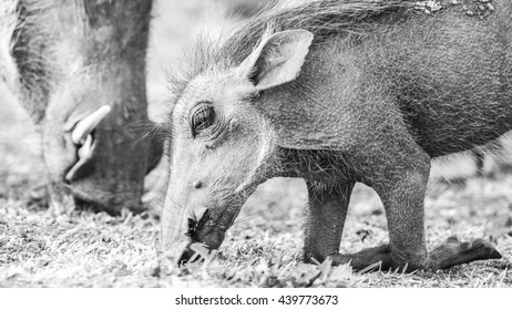 Warthog foraging on dry ground during drought