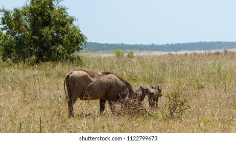 Warthog with her family grazing in the field