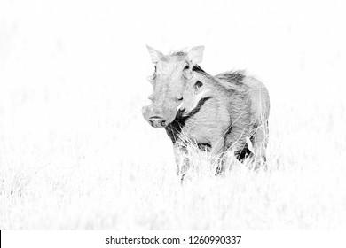 Warthog in High Key