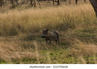 Warthog isolated- Tanzania