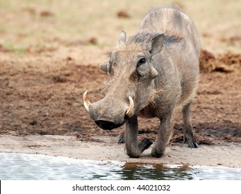 Warthog kneeling at a waterhole alert for attack