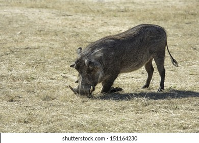 Warthog with large tusks kneeling on its front legs in the grass scavenging for food.