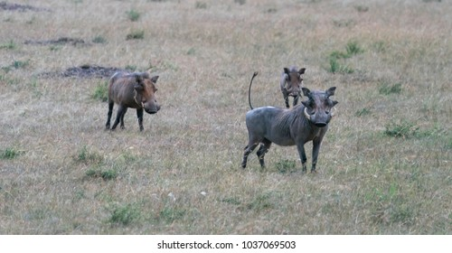 A Warthog in the Masai Mara