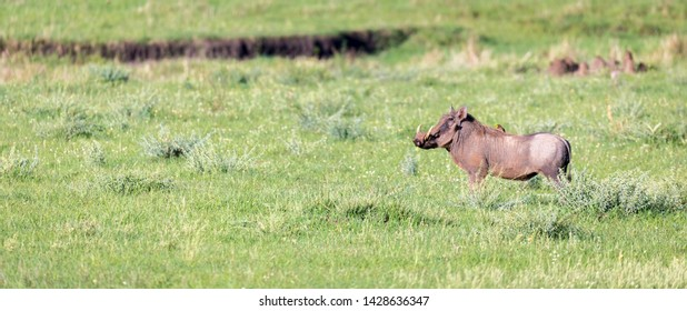 The warthog in the middle of the savanna of Kenya