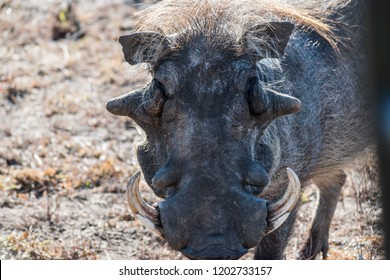 Warthog at Mlilwane Wildlife Sanctuary in the Ezulwini Valley, Eswatini (Swaziland)