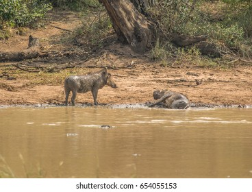 Warthog near a waterhole at the Hluhluwe iMfolozi Park in South Africa