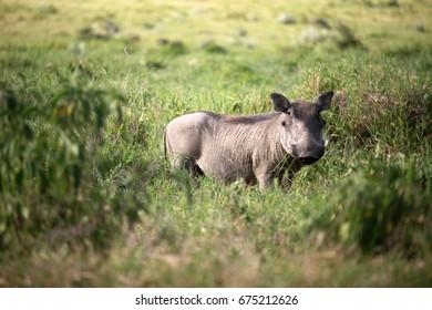 Warthog on the meadow, Kenya
