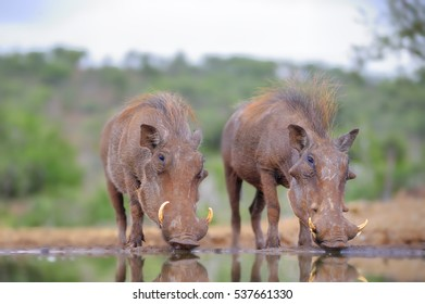 WARTHOG (Phacochoerus aethiopicus) drinking at a waterhole in the Zululand sand forest country around Pongola, Kwazulu Natal, South Africa.
