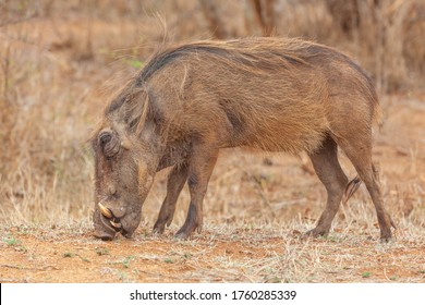 A warthog (Phacochoerus aethiopicus) grazing in the Kruger National Park, South Africa.