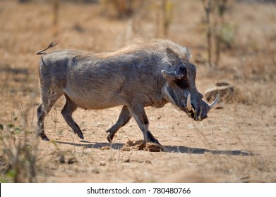 WARTHOG  (Phacochoerus  aethiopicus)Male with tusks