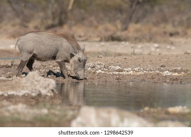 Warthog (Phacochoerus africanus) - Having A Drink
