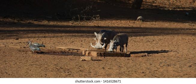 Warthog ( Phacochoerus africanus) Mokala National Park, South Africa