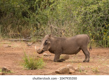 A warthog ( Phacochoerus Africanus) on his knees, Pilanesberg, South Africa.