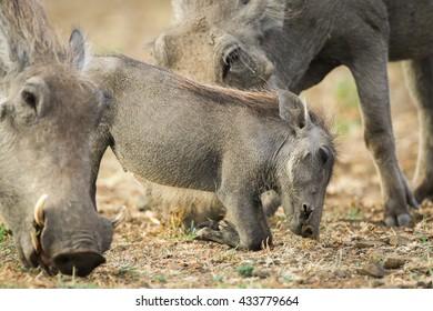 Warthog piglet foraging in dry ground with parent, Kruger National Park