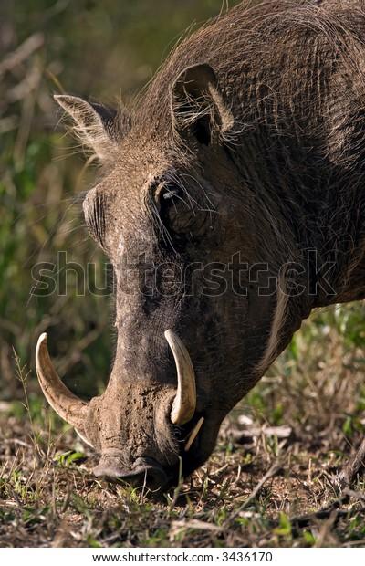Warthog portrait; Phacochoerus Aethiopicus