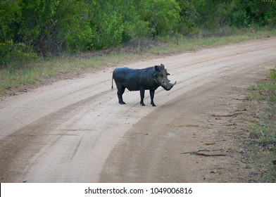 Warthog in road at Kruger National Park in South Africa