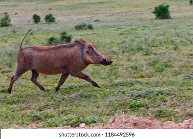 Warthog running wild in the grass in the field