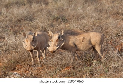 Warthog searching for food in the morning light in drought hit Addo National Park, South Africa