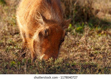Warthog standing and digging in the ground with his nose