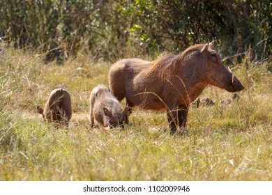 Warthog standing with her babies in the field