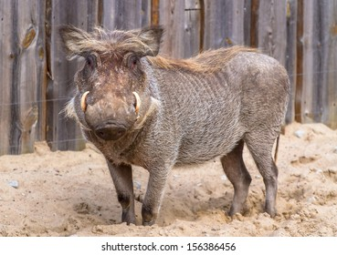 Warthog standing on the sand with fence in the background