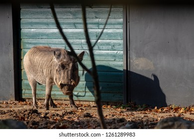 A warthog in the sunshine