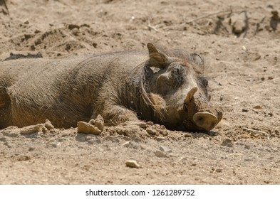 A warthog wallows and rests