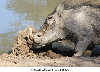 Warthog - Wildlife from Africa - Professional sand and mud excavator.  A male digs a hole to lie in next to a watering hole on a game ranch in Namibia.
