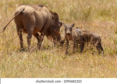 Warthogs eating grass and curious to see what is happening around them in the field