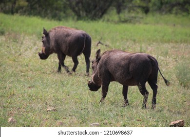 Warthogs in the South African landscape