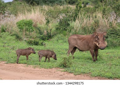 warthogs sow and piglets