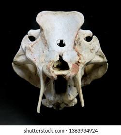 Warthog,Southern warthog,Namibia,South Africa,omnivore,incisors,tusks,warthog skull,Phacochoerus Africanus,hogs,wild boar,extinction,Razorback,wild pig, Phacochoerus Sundevalii,Pacochoerus Aethiopicus
