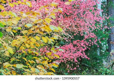 warty Euonymus, a shrub with pink leaves in fall