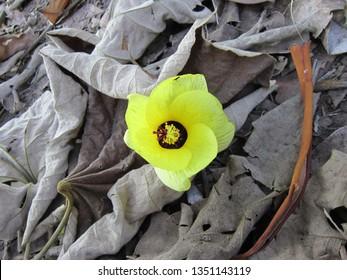waru flower look so beautiful