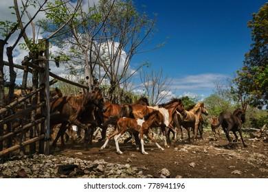 Waruparunu beach, East Sumba, East Nusa Tenggara, Indonesia - November 2017 : the wild horses of Sumba