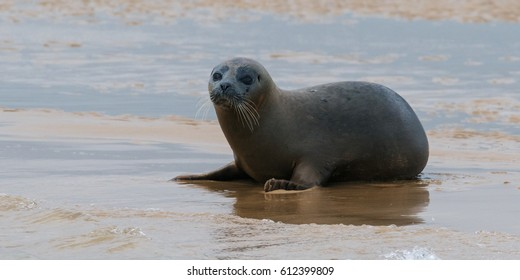 Wary Common Seal. A common seal looks around from its resting place on an isolated sandbank.