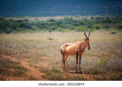 Wary hartebeest looking out at Addo Elephant Park