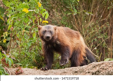 Wary, looking at you. beautiful wolverine with shiny fur on a rock on a background of green thickets of grass, close-up.