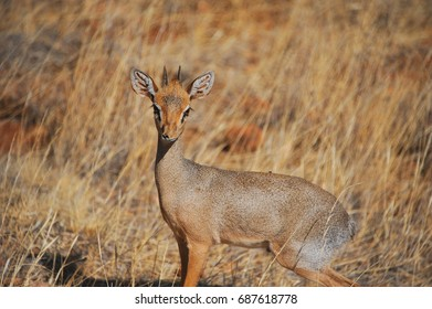 A wary male Dik-Dik captured at sunset in Samburu National Reser