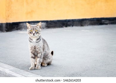 wary wild gray homeless cat sits on the sidewalk near the yellow wall of the building and looks around suspiciously