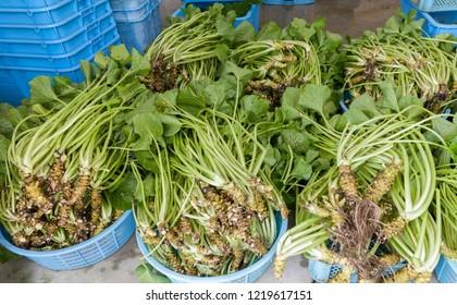Wasabi (Japanese horseradish) harvested