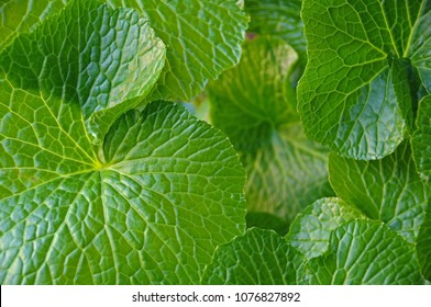 wasabia japonica green leaves as background