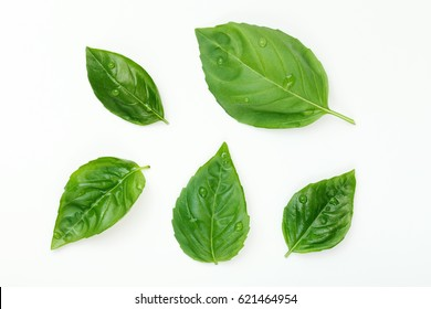 Washed Fresh Basil Leafs with Water Drops Isolated on White.