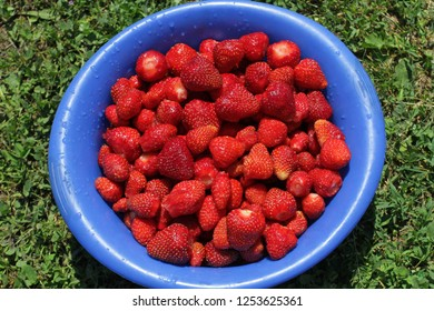 Washed strawberries in a blue plate on a background of green grass