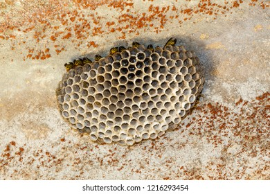 Washer of Carton Wasps or Wastebaskets. Polistes dominula.